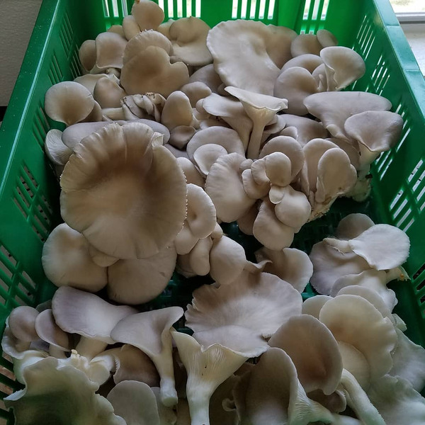 Fresh Oyster Mushrooms- AACO