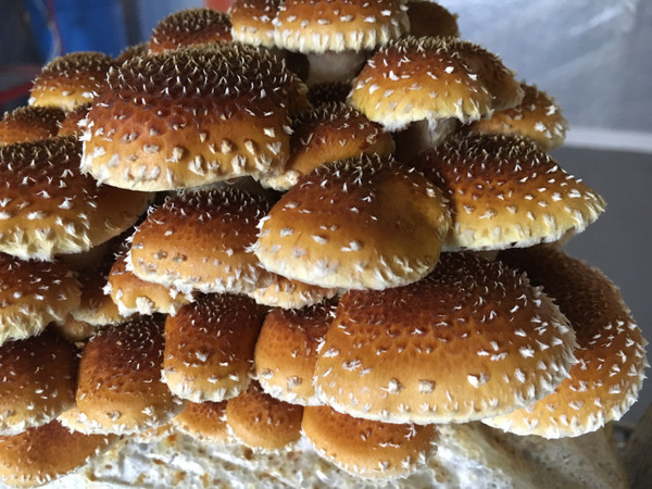 Fresh Chestnut Mushrooms- HH