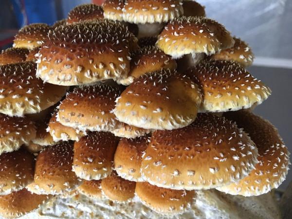 Fresh Chestnut Mushrooms- AACO