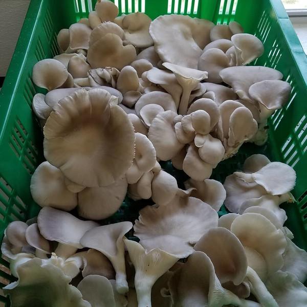 Fresh Oyster Mushrooms- HH