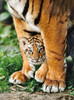 Bengal Tiger Cub - 500pc Jigsaw Puzzle by Clementoni