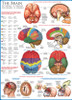Educational Puzzles - The Brain