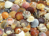 Bay Scallop Beauties - 500pc Jigsaw Puzzle by Heritage Puzzle
