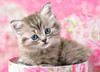 Kitten in Box - 35pc Jigsaw Puzzle By Castorland (discon-24054)