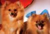 Tomax Jigsaw Puzzles - The Pomeranians