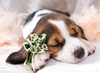 Basset Hound - 300pc Jigsaw Puzzle by Tomax