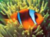 Tomax Jigsaw Puzzles - Clownfish