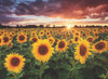 Field of Sunflowers at Dusk - 1000pc Jigsaw Puzzle by Anatolian
