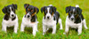 Jack Russell Terrier Puppies - 600pc Jigsaw Puzzle By Castorland
