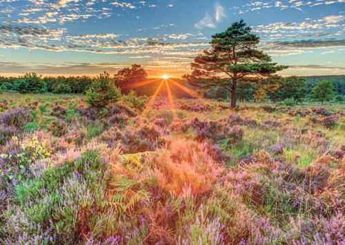 Heather at Sunset - 500pc Jigsaw Puzzle By Jumbo