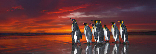 King Penguins - 1000pc Panoramic Jigsaw Puzzle By Heye