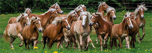 Haflinger Horses - 1000pc Panoramic Jigsaw Puzzle By Jumbo