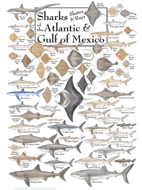 Sharks, Skates & Rays of the Atlantic & Gulf  - 550pc Jigsaw Puzzle by Heritage Puzzle