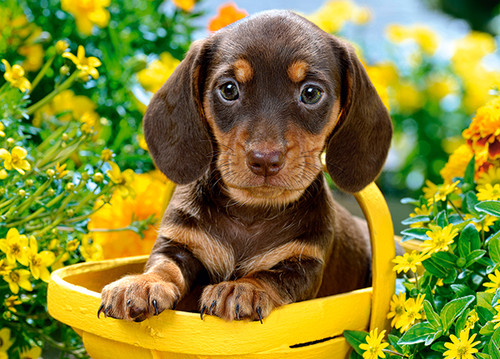 Puppy in Yellow - 180pc Jigsaw Puzzle By Castorland (discon)