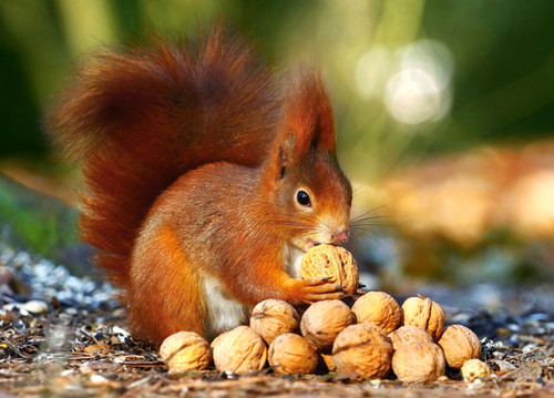 Squirrel in Paradise - 180pc Jigsaw Puzzle By Castorland