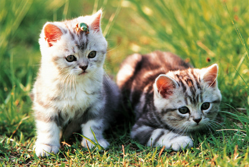 Tomax Jigsaw Puzzles - Loveable Kittens