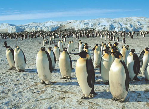 Tomax Jigsaw Puzzles - Emperor Penguins