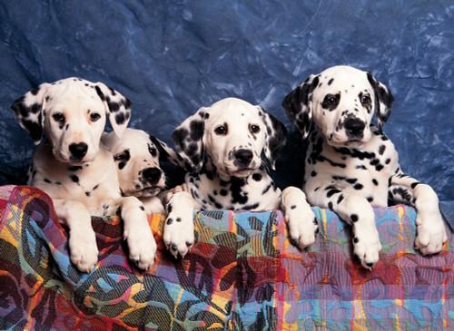 Tomax Jigsaw Puzzles - Dalmatians