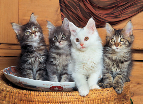 Tomax Jigsaw Puzzles - Maine Coon Cats