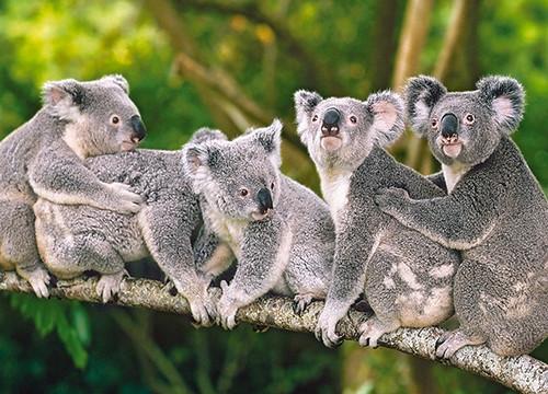 Family of Koalas - 120pc Jigsaw Puzzle By Castorland