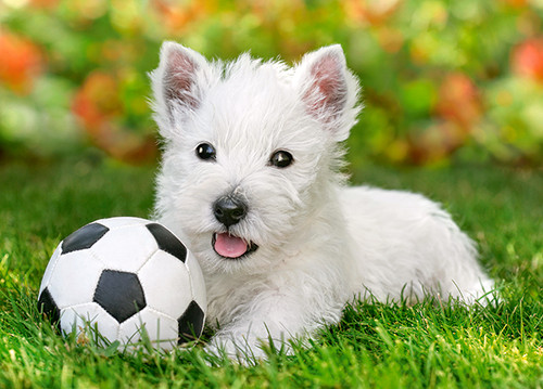 White Terrier and Football - 60pc Jigsaw Puzzle By Castorland (discon-28489)
