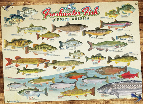 Freshwater Fish of North America - 1000pc Jigsaw Puzzle by Cobble Hill