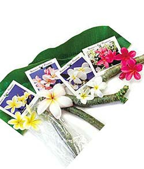 Plumeria Starter Shoots available in Yellow, White, Pink, and Red hues