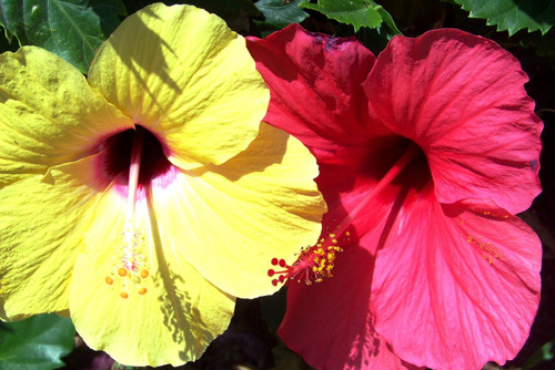 Yellow and Red Hibiscus flowers in full bloom, side-by-side