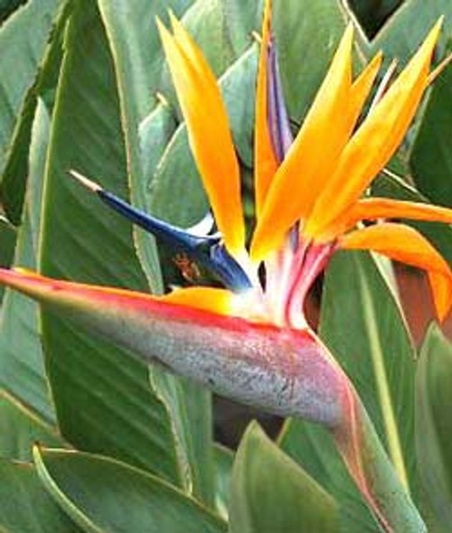 Bird of Paradise Flower in full bloom