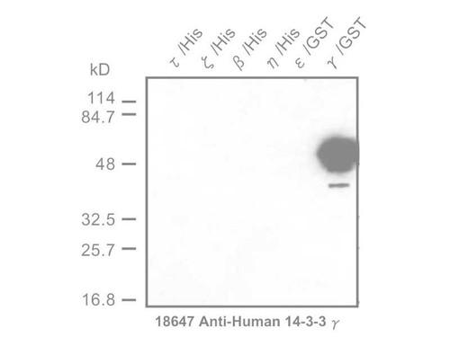 14-3-3 γ Protein Anti-Human Rabbit IgG Affinity Purify