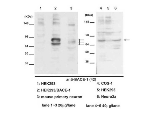Anti-BACE1 (42) Rabbit IgG Affinity Purify