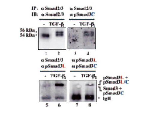 Anti-Smad3L (Ser 208/213 Phosphorylated) Rabbit IgG Affinity Purify