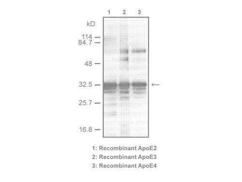 ApoE (A299) Anti-Human Rabbit IgG Affinity Purify 1