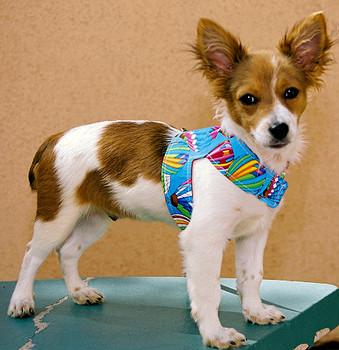 Hot Air Balloon Dog Harness