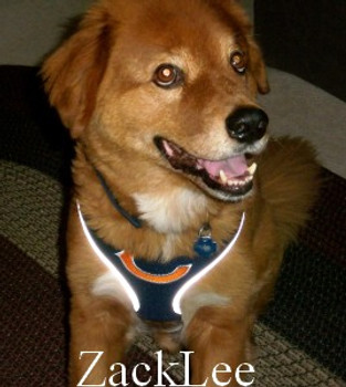 NFL Chicago Bears Dog Mesh Harness - Big Dog Sizes Too!