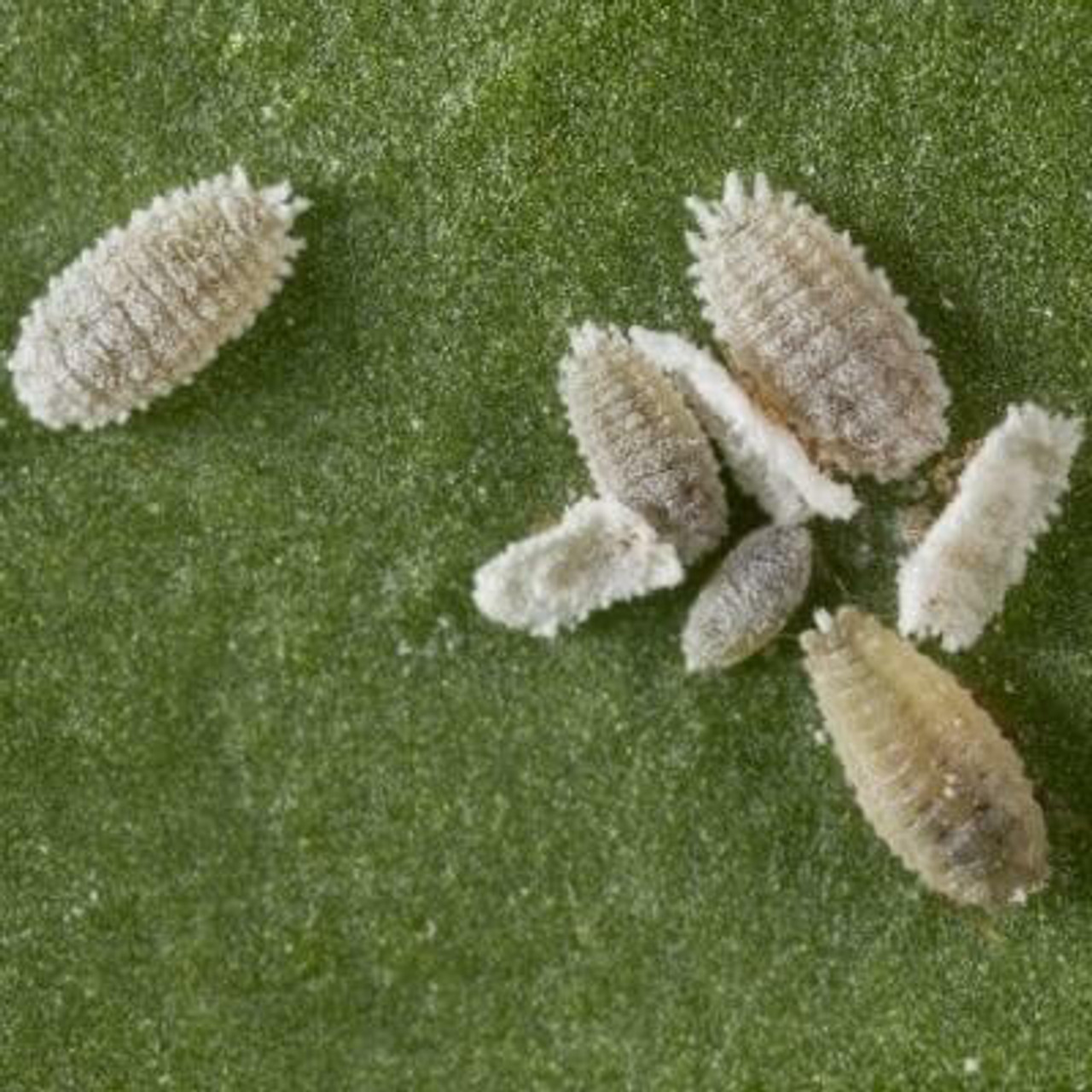 Mealybugs and Scale