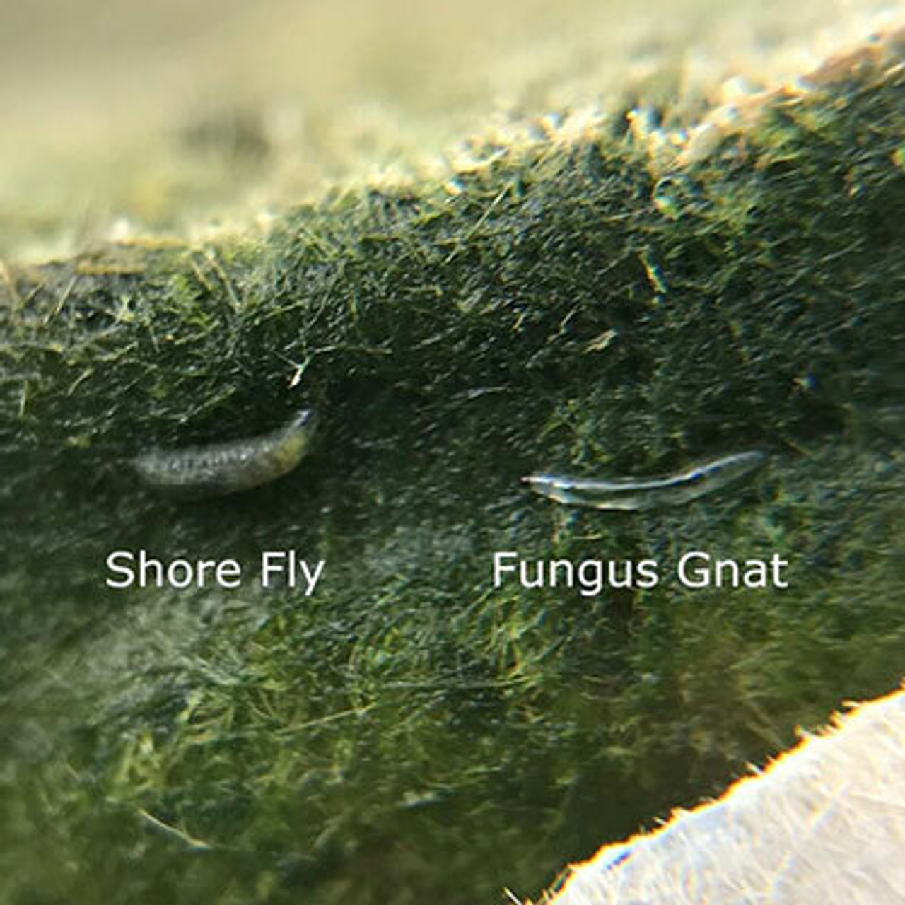Fungus Gnats