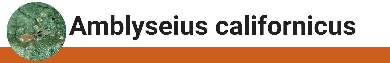 amblyseius-californicus.png