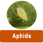 Learn More About Aphids