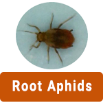 Learn More About Root Aphids