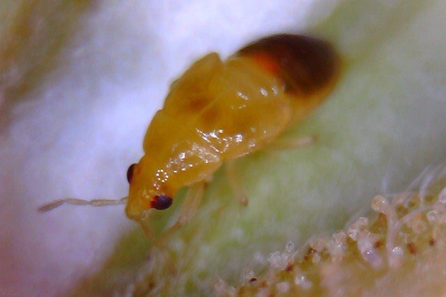 orius nymph stage