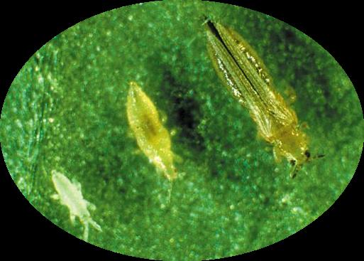thrips-larva