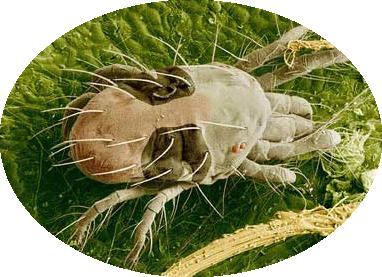 twospotted-spider-mite