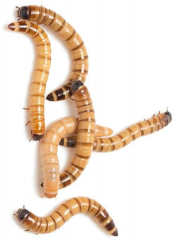 Superworms, Dubia Roaches