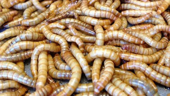 Mealworms and Dubia Roaches For Sale