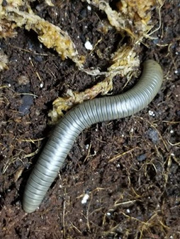 Smokey Ghost Millipede For Sale