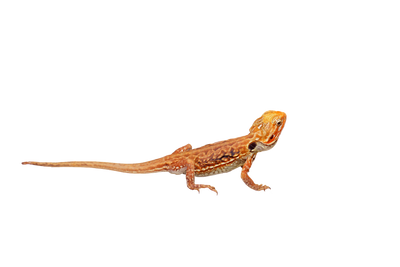 What do Bearded Dragons eat ?