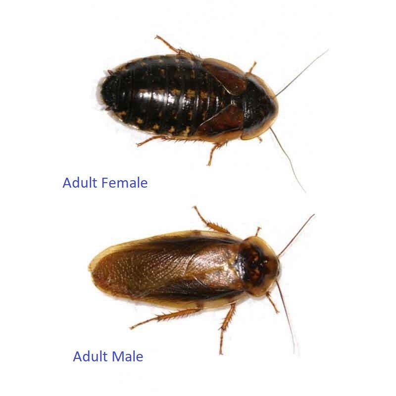 Adult Dubia Roaches 12 Females 5 Males