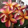 Som Sango Plumeria Flower