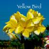 "Yellow Bird Compact Plumeria 22-24"" Triple Tip"
